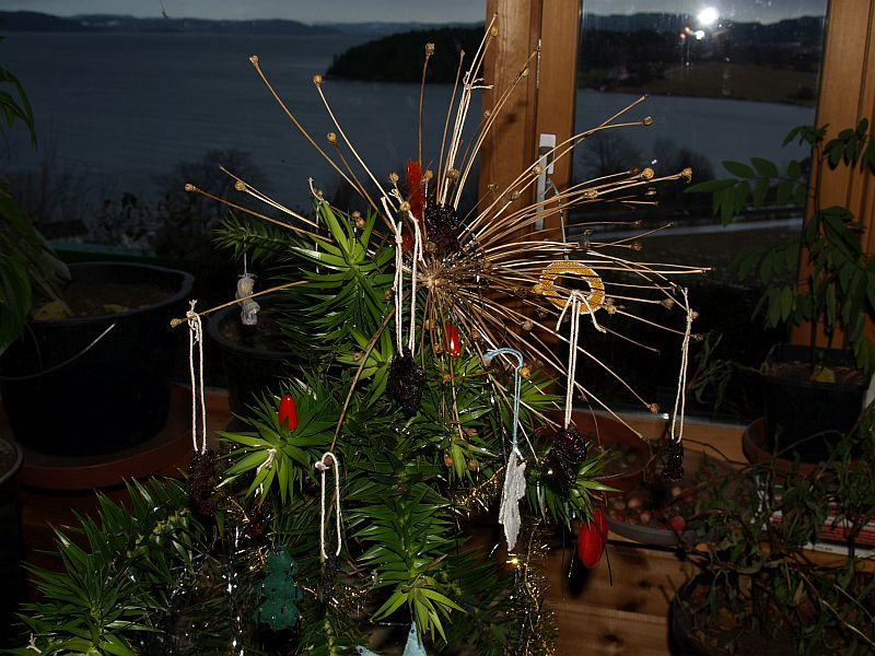 Since about 2010, I've used it as a Xmas tree. The next few pictures are from 2011 with the fairy replaced by the seed head of Schubert's Onion, Allium schubertii