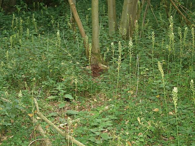 Naturalised bath asparagus in a nature reserve near Swindon, UK. It often grows in shady deciduous woodlands!