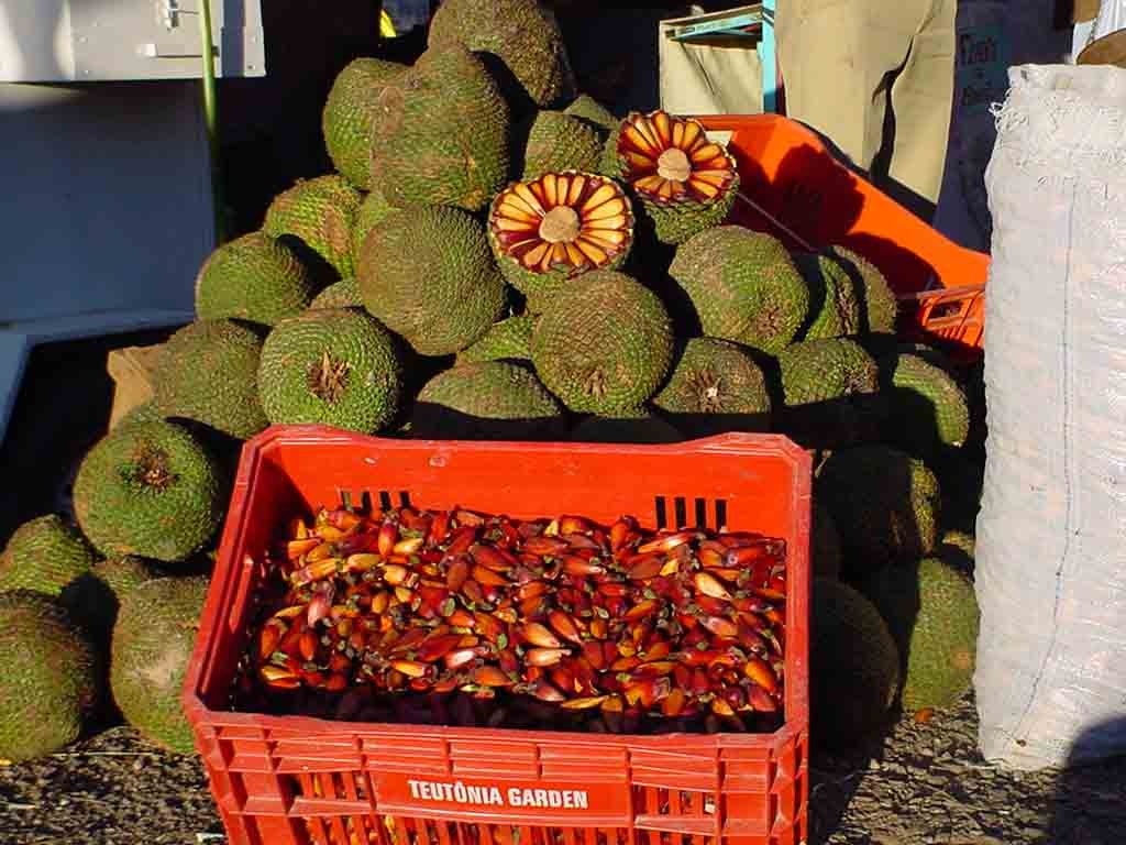 The picture (from Wikipedia) shows the cones (pinhas) and nuts (pinhões);  Wikipedia: The seeds, similar to large pine nuts, are edible, and are extensively harvested in southern Brazil (Paraná, Santa Catarina and Rio Grande do Sul states), a habit particularly important for the region's small population of Native Americans. The seeds, called pinhão [piˈɲɐ̃w̃] are popular as a winter snack. The city of Lages, in Santa Catarina state, holds a popular pinhão fair, in which mulled wine and boiled araucaria seeds are consumed. In Brazil, 3,400 tonnes (7,500,000 lb) of seeds are collected annually which, combined with extensive logging, seriously threatens the regeneration of the species.  It is also as a softwood timber, used in stair treads and joinery.