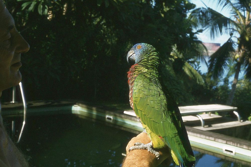 St. Lucia Parrot, also known locally as Jacquot (digitised from a slide taken of an injured bird, later to be rereleased, St Lucia 1981