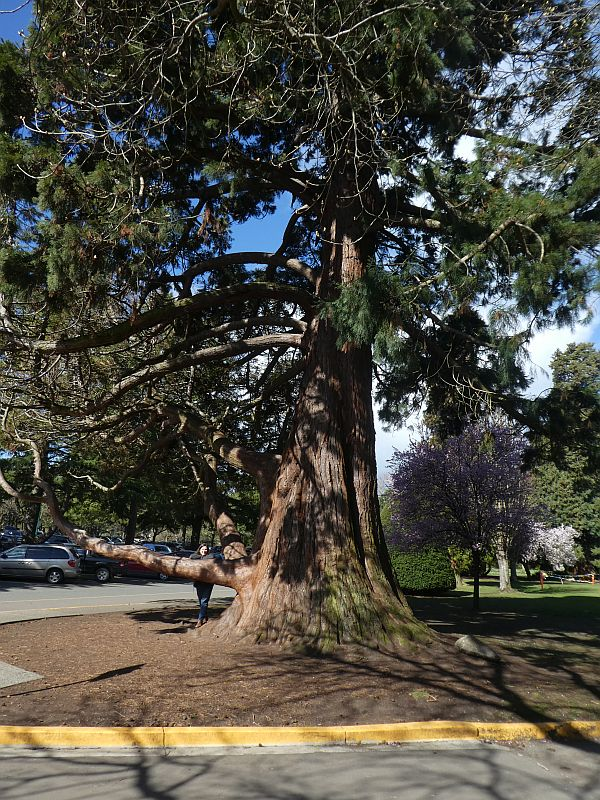 The most photographed tree in the park is this Giant sequoia (Sequoiadendron giganteum)