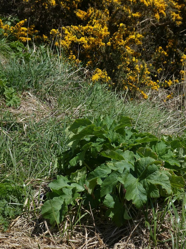 Heracleum spp. and gorse