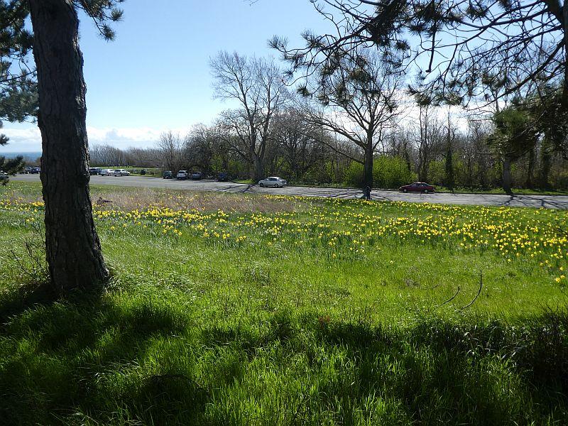 Daffodils encroaching on the camas meadows
