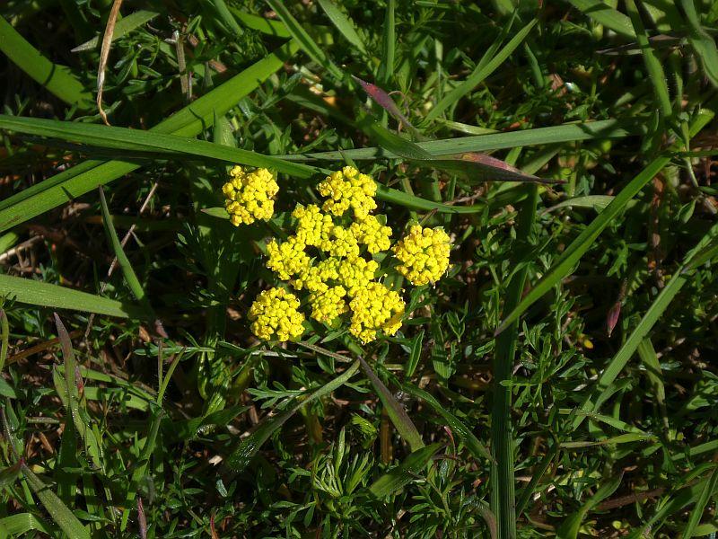 Spring Gold (Lomatium utriculatum)