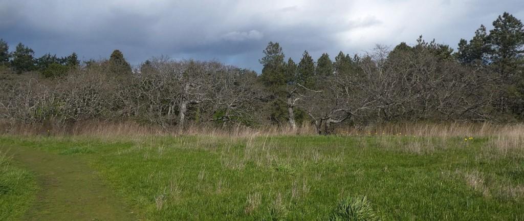 Garry Oak meadow being restored