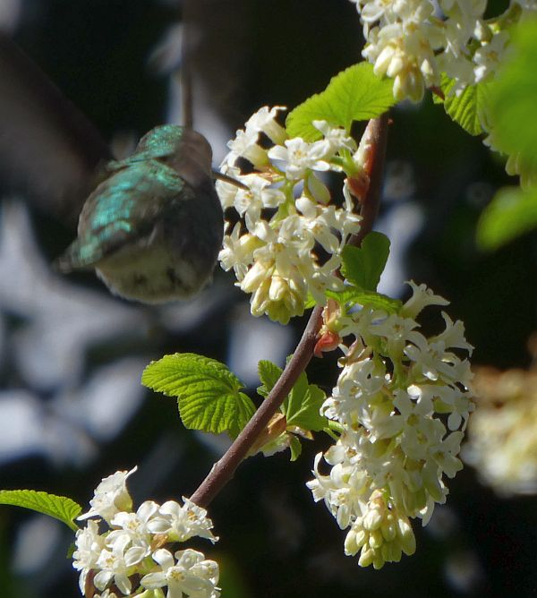 Ribes sanguineum (white variety) a favourite of hummingbirds