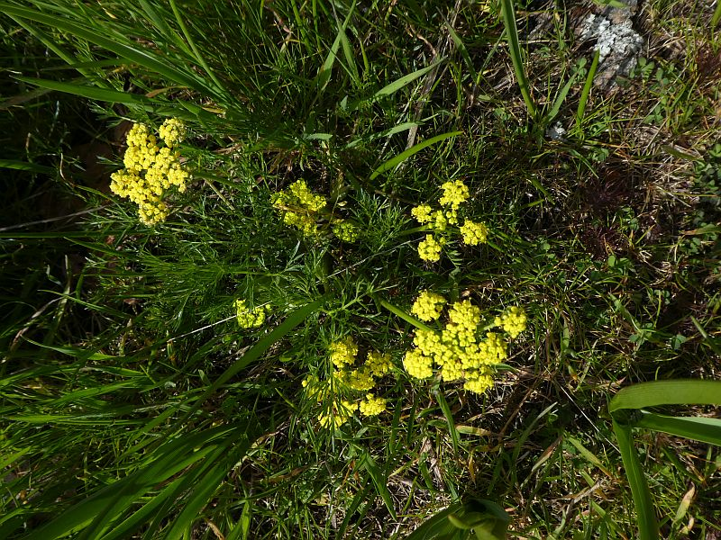 I was lucky to be just in time for Spring Gold (Lomatium utriculatum), although it doesn't seem to have been used as a food plant in this area.
