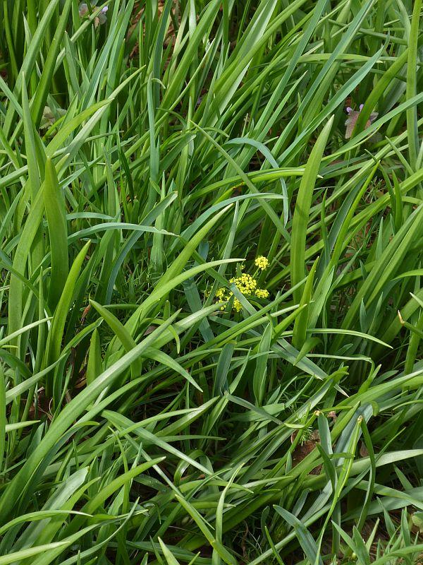 Spring Gold (Lomatium utriculatum) blooming under a canopy of camas