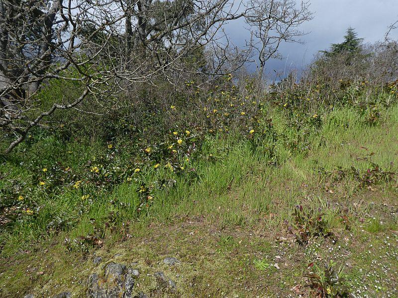 Mahonia encroaching onto the rocky meadow