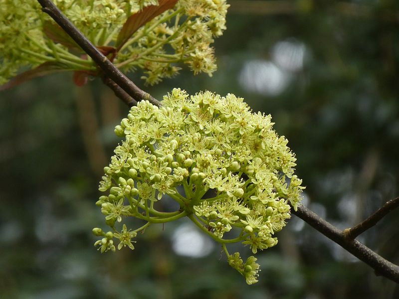 Chinese Sorbus megalocarpa has large inflorescences