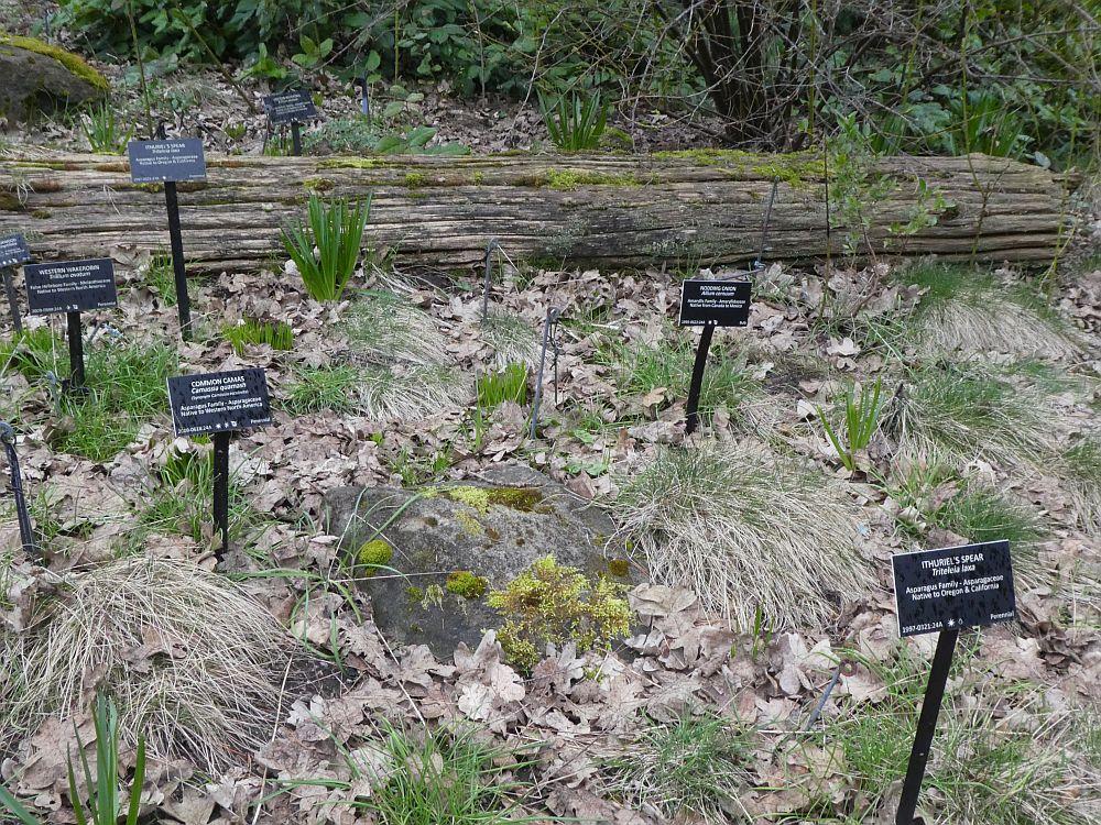 Native edibles Camassia leichtlinii, Allium cernuum, Triteleia laxa and Trillium ovatum!