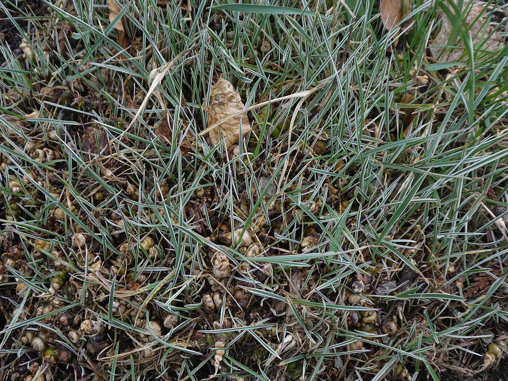 """Variegated bulbous oat grass (Arrhenatherum elatius subsp. bulbosum """"Variegatum"""")"""