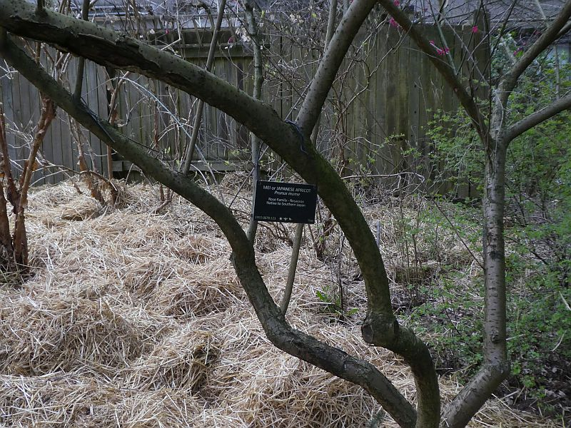 Prunus mume, Japanese apricot