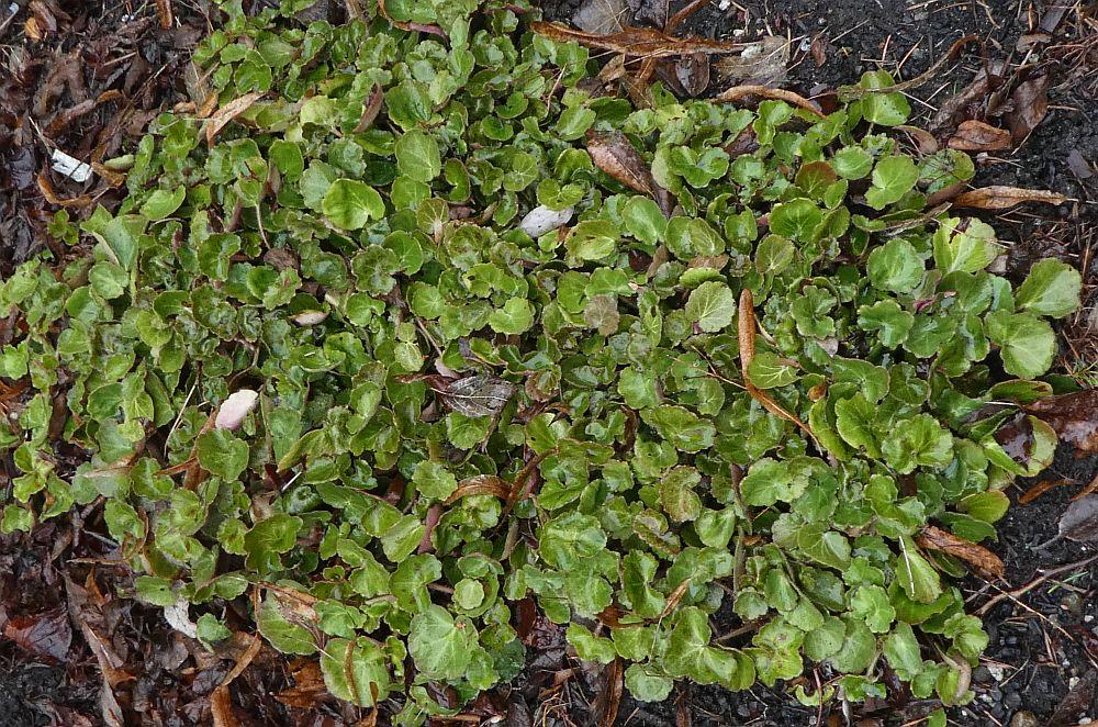Saxifraga cortusifolia is used in Japan, probably in tempura