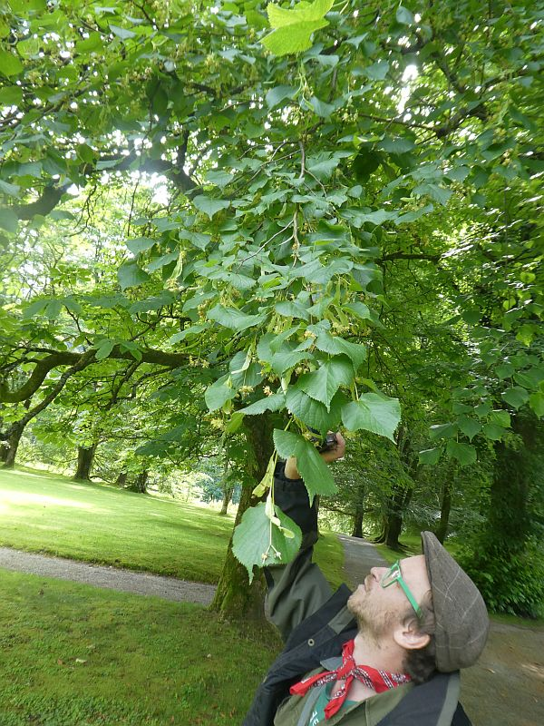 Large leaved lime, Tilia