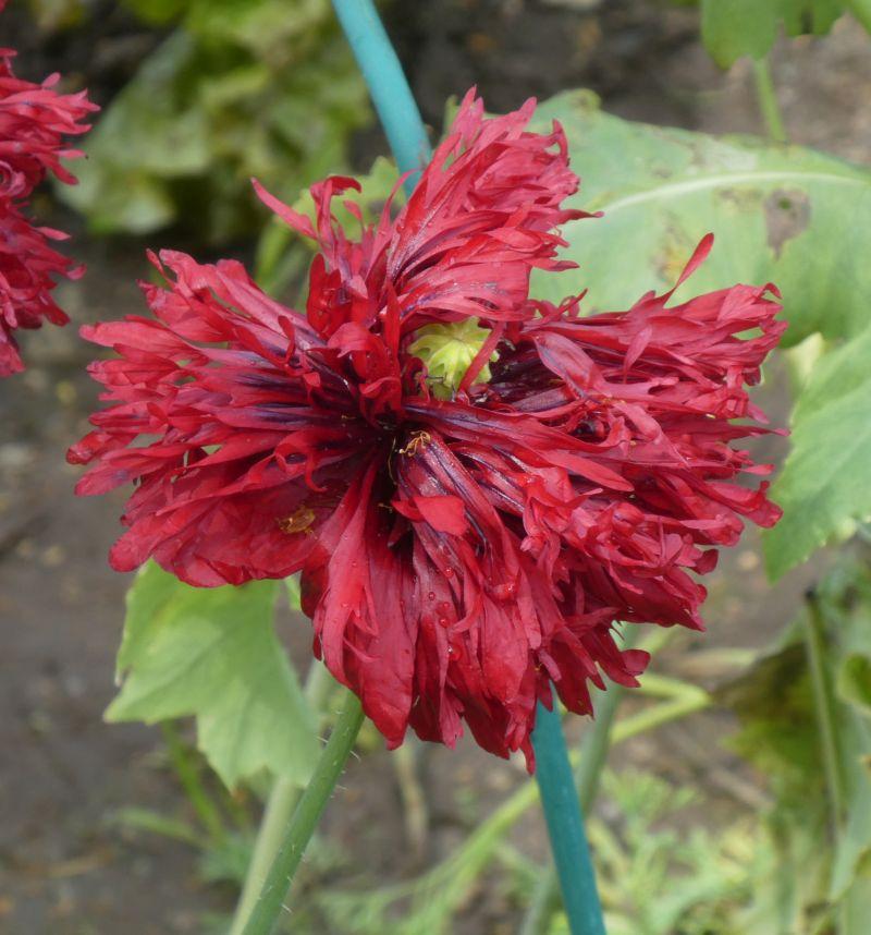 Opium poppy (opiumvalmue)