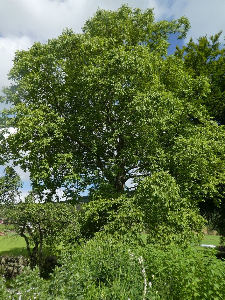 A relatively young walnut (valnøtt), the old trees died a few years back.