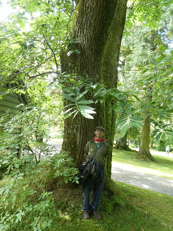 The largest Sweet chestnut (ekte kastanje) in Norway?