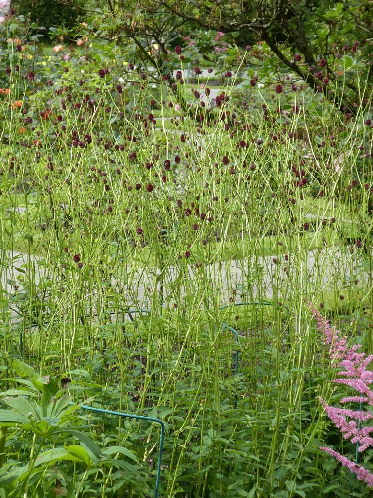 Sanguisorba officinalis and Astilbe