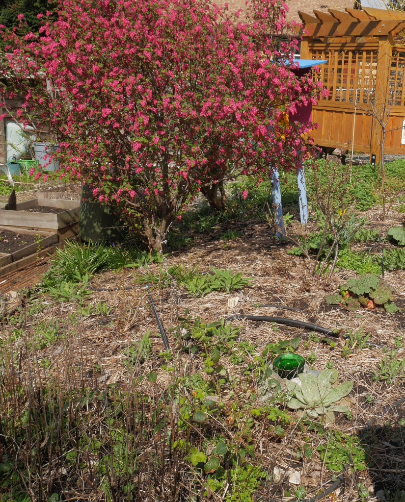 Native Ribes sanguineum