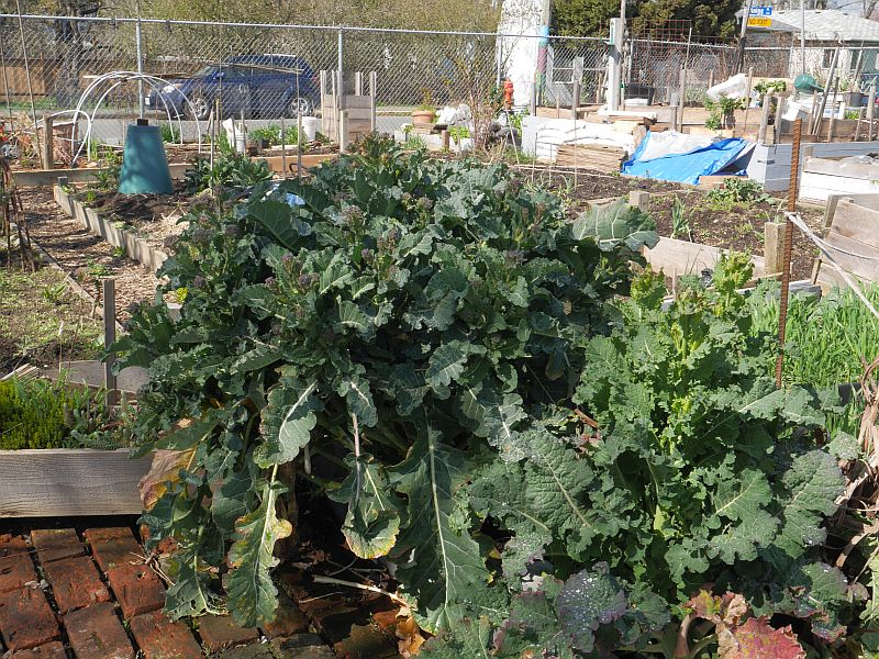 A large purple sprouting broccoli