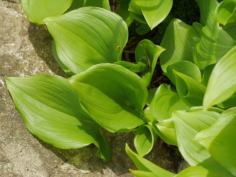 Maianthemum