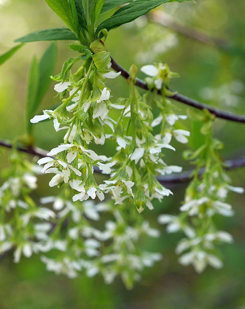 Oemleria cerasiformis, Indian plum (Osoberry)