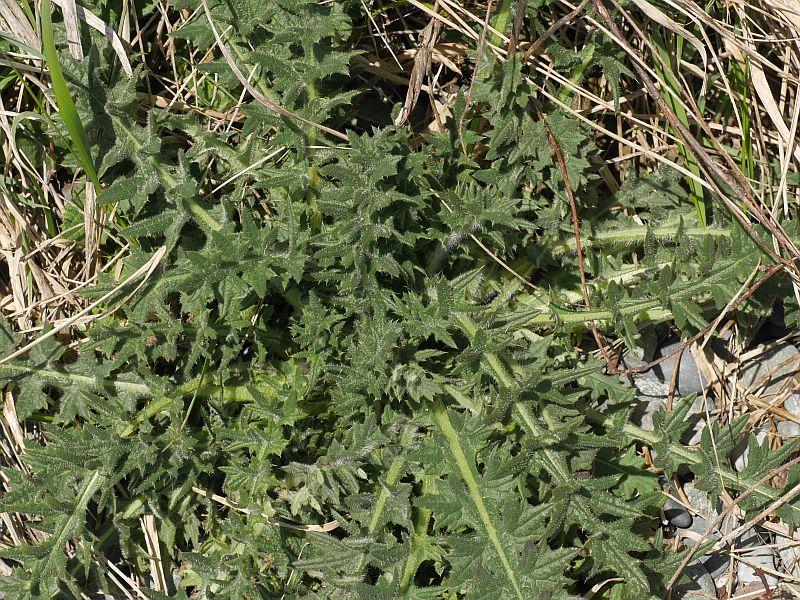 Cirsium spp.