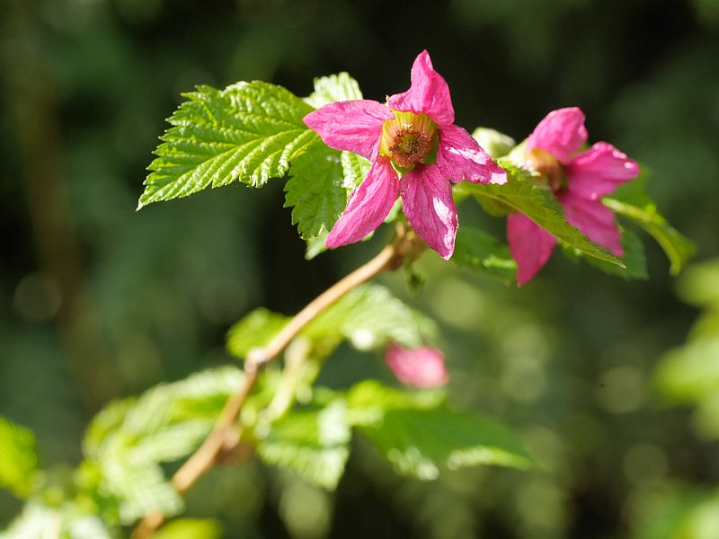 Nice to see Rubus spectabilis, salmonberry in its native environment. I was suprised to find it in flower this early!