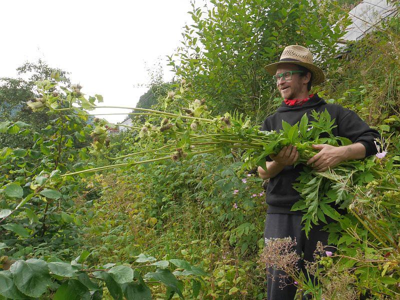 Cirsium oleraceum (Cabbage thistle / kåltistel)