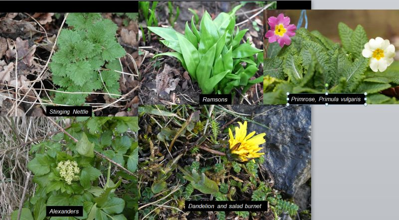 Three slides from my talk - pictures taken in England  during the days before my talk! Spring is well advanced here and the foraging season is reaching the top! No hungry gap here!