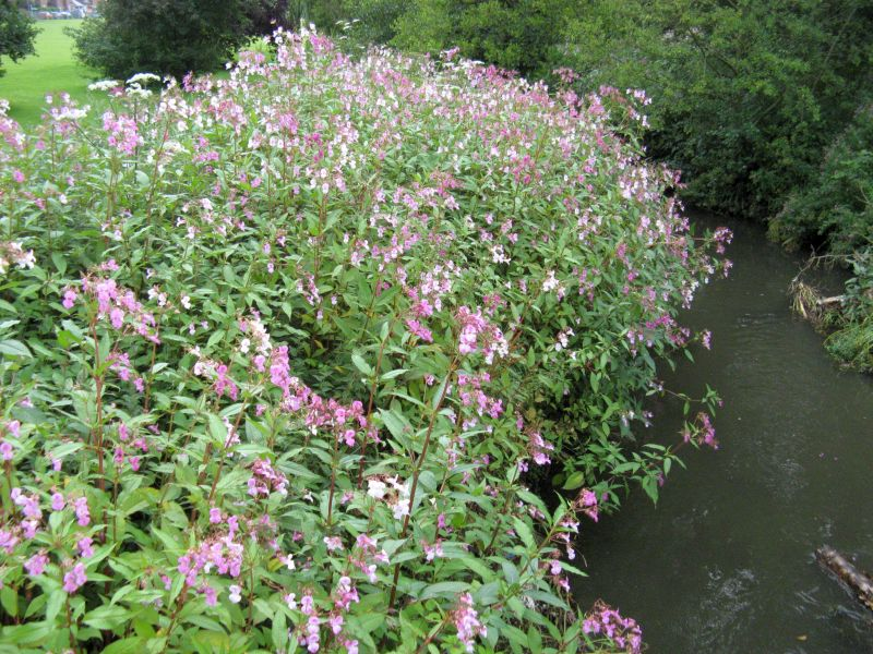 Himalayan balsam (kjempespringfrø) was the noxious element of the pizza....the seeds were used. Here from July along the Monk's Brook in my home town Eastleigh, Hampshire!
