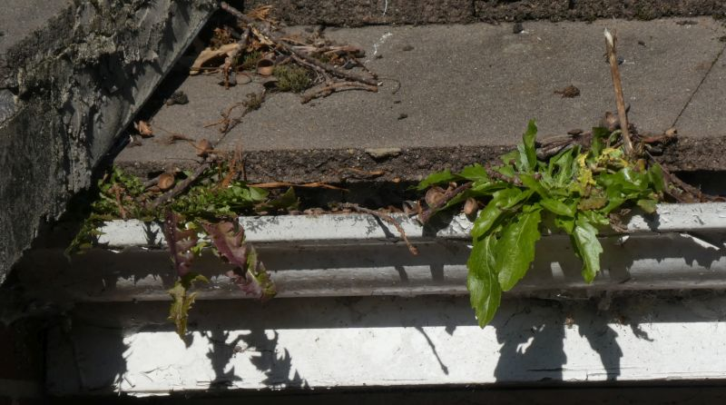 Gutter dandelions, Taraxacum gutteratus?