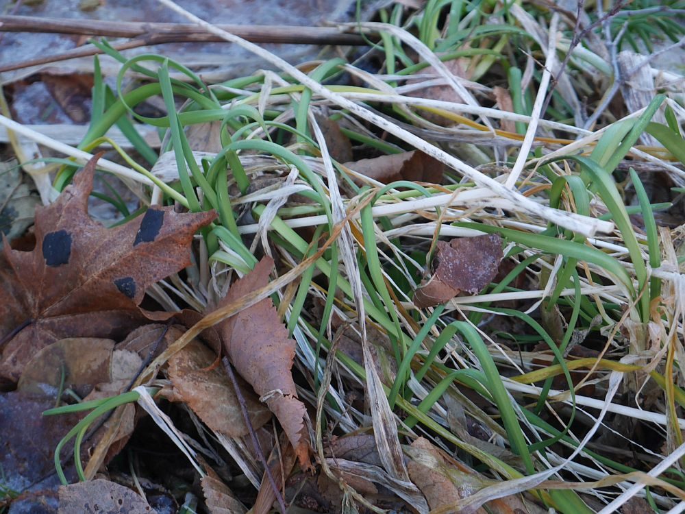 Allium cernuum leaves can be harvested year round even when it's -10C in the middle of the day as it was yesterday!
