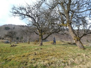 Andrew taking cuttings from one of the oldest fruit trees