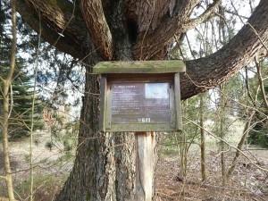 Siberian pine (Pinus cembra)