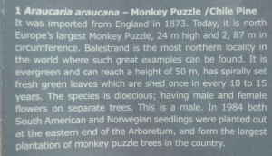 Norway's champion monkey puzzle came from England in 1873! It was long alone but several more trees were planted in 1984!