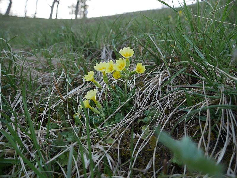 Primula veris x vulgaris hybrid?