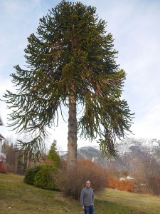 Norway's champion (largest) monkey puzzle (apeskrekk)