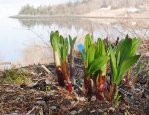 Allium victorialis; Victory onion / seiersløk