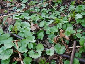 Ranunculus ficaria (lesser celandine / vårkål)