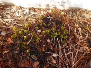Hablitzia tamnoides ( Caucasian spinach / stjernemelde)