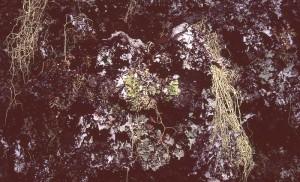 Lichens on Araucaria araucana