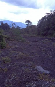 I did see one group of Araucaria in the Conguillio national park, here on islands spared by the lava flows!