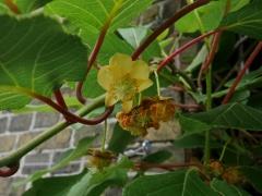 1080 P1040671 (Kopier) -- <p> Flowering Kiwi (Actinidia deliciosa)</p>