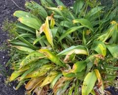 1080 P1040689 (Kopier) -- <p> Allium victorialis</p>