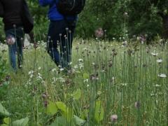 1080 P1040820 (Kopier) -- <p> Allium scorodoprasum /&nbsp;Skogsl&ouml;k&nbsp;meadow</p>