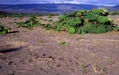 Nalca (Gunnera tinctoria)  -- <p> Nalca grows on an area impacted by the major tsunami in 1960</p>