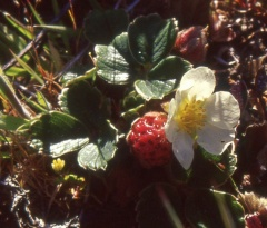Chilean strawberry (Fragaria chiloensis) -- <p> Under the Gunnera was another edible, the Chilean strawberry (Fragaria chiloensis) one of the species crossed in the development of modern commercial strawberries!</p>