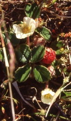 """Chilean strawberry (Fragaria chiloensis) -- <p> <span style=""""color: rgb(170, 170, 170); font-family: Arial, Helvetica, sans-serif; font-size: 12.8000001907349px; text-align: center; background-color: rgb(34, 34, 34);"""">Under the Gunnera was another edible, the Chilean strawberry (Fragaria chiloensis) one of the species crossed in the development of modern commercial strawberries!</span></p>"""